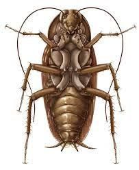 203x248 Image Result For Cockroach Drawing Ngh Scientific Drawing