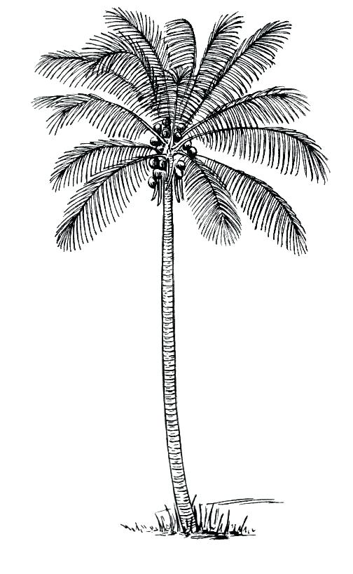 504x818 Palm Trees Drawings How To Draw A Coconut Tree In Easy Steps Palm