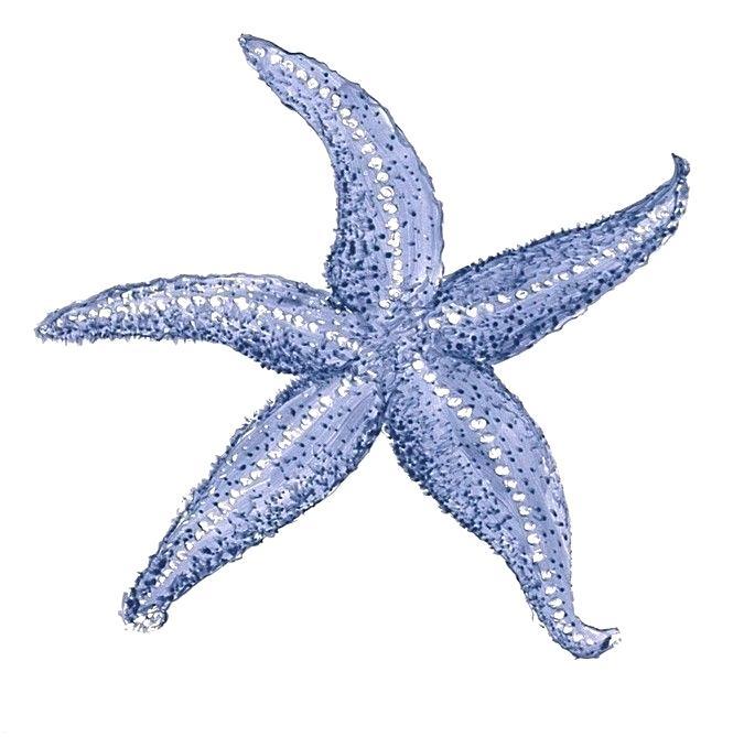 675x669 starfish drawing starfish drawing clip art starfish download free
