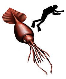 220x262 best colossal squid images colossal squid, squid drawing