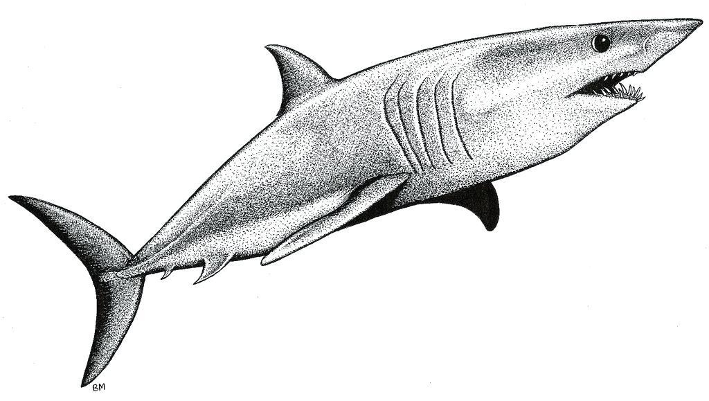 1024x579 shark drawings cool shark drawing shark drawings to color nip