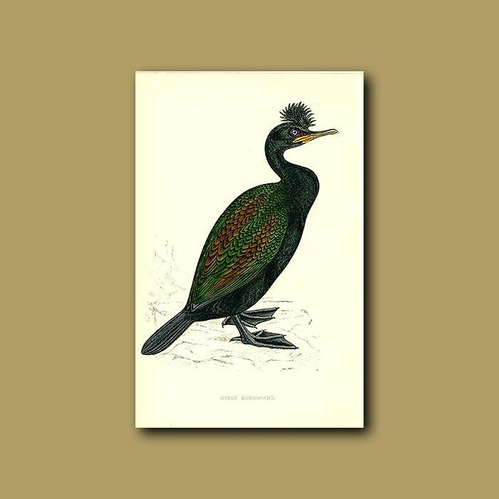 700x700 green cormorant genuine antique print for sale