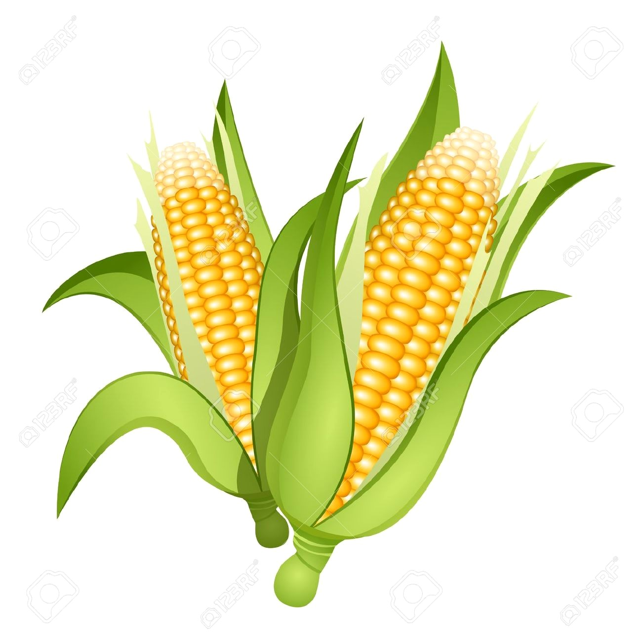 1300x1300 Stock Photo Corn Illustration Ear Of Drawing Isolated On The Cob