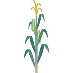 300x300 How To Draw Corn Stalks