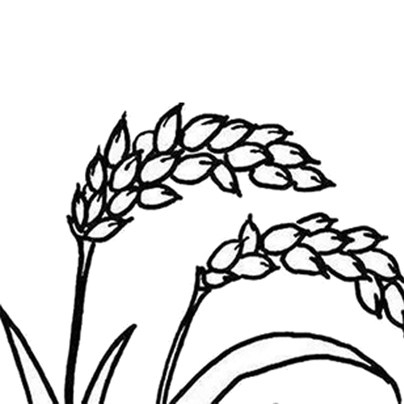800x800 Collection Of Free Wheat Drawing Corn Download On Ui Ex