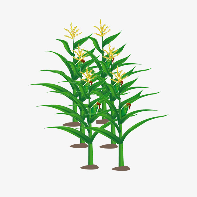 650x651 Cornfield Free Download Png Vector