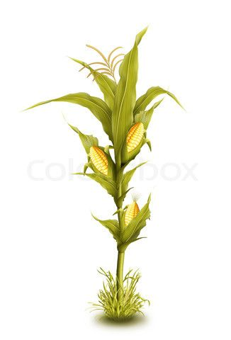 326x480 Image Of 'illustrated Corn Stalk Isolated' On Colourbox Cakes