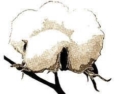 Cotton Plant Drawing