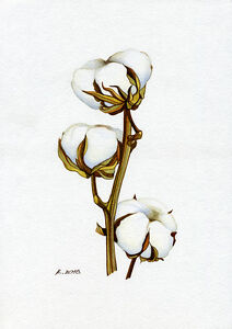 Cotton Plant Drawing Free Download On Clipartmag
