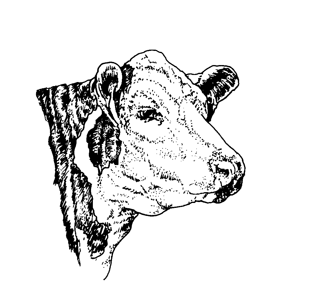 Cow Drawing Art