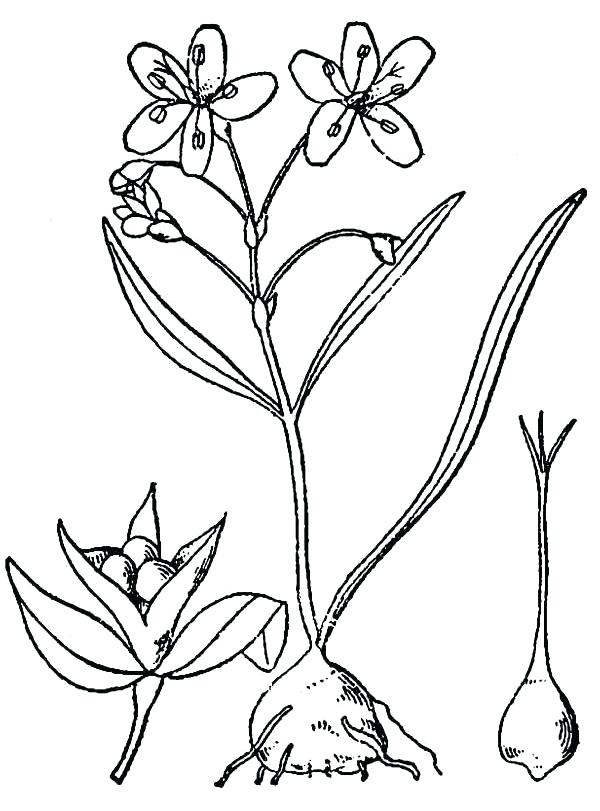 600x811 drawing of spring flower drawings spring time flowers tulips boot