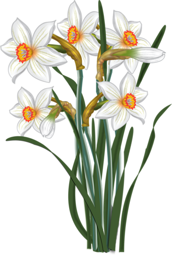 338x500 narcissus drawing paperwhite flower transparent png clipart free
