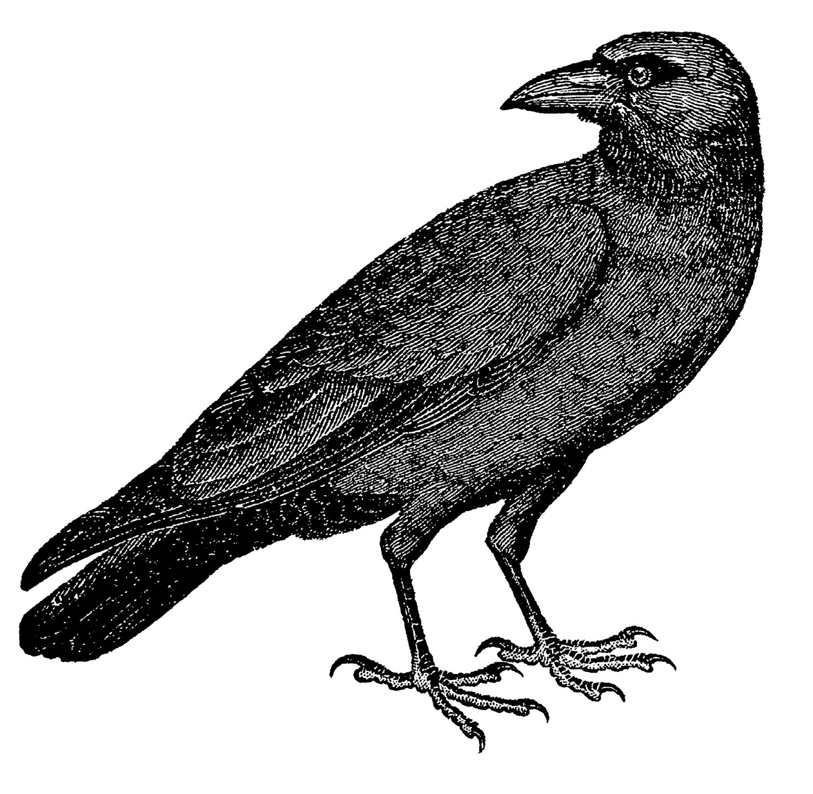 Crow pencil drawing free download best crow pencil drawing on