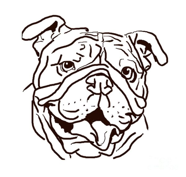 600x569 English Bulldog Drawings Fine Art America