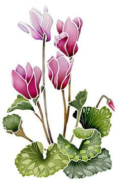 Cyclamen Drawing