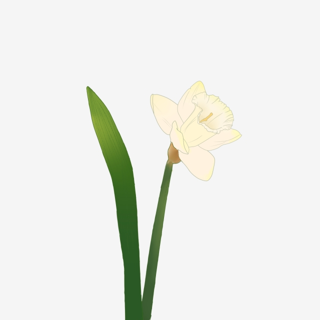 640x640 hand painted flower narcissus flower plant painted,hand drawn