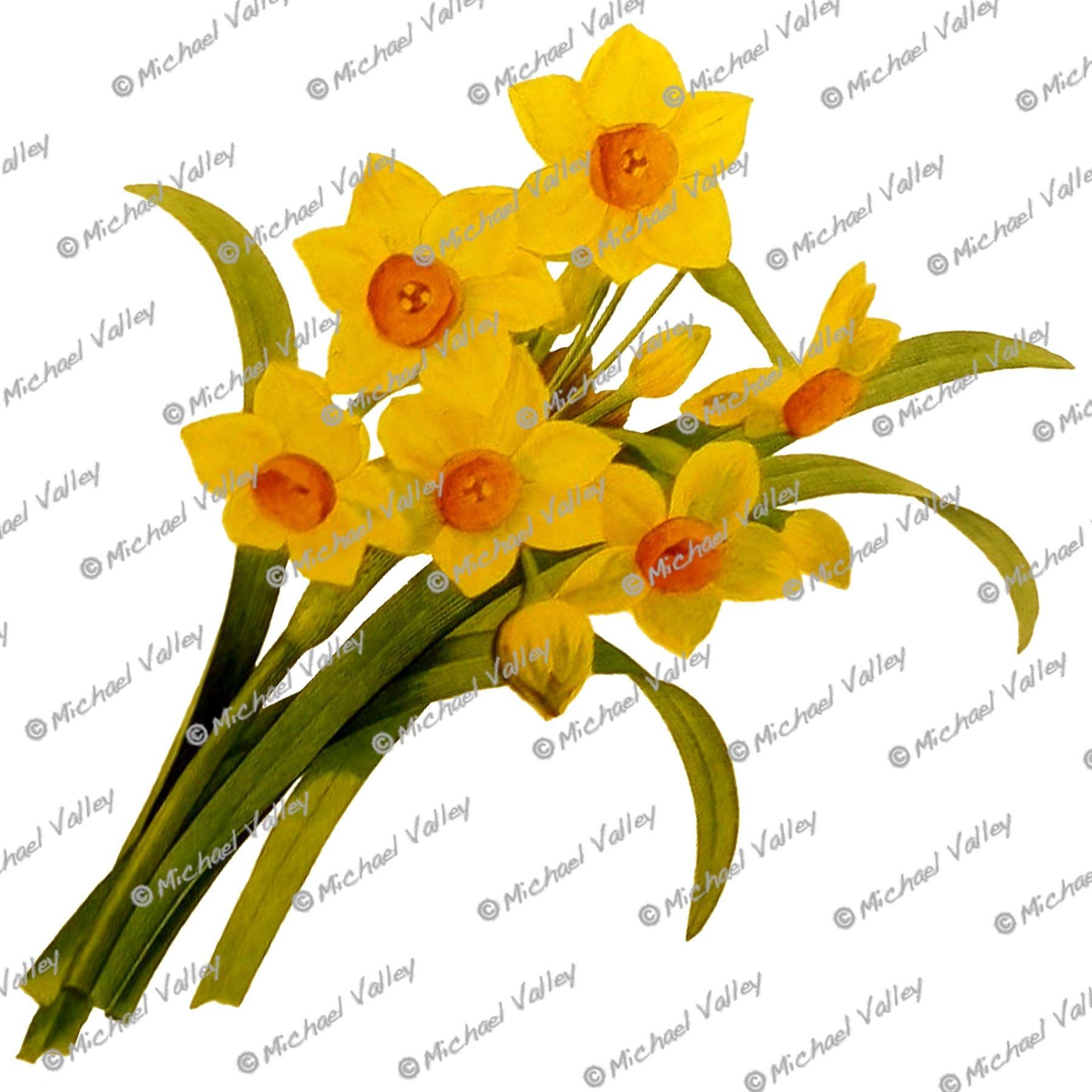 1800x1800 narcissus daffodils vintage botanical drawing beautifully etsy