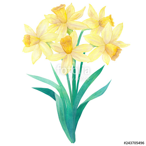 500x500 spring bouquet of bright yellow daffodils or narcissus and leaves