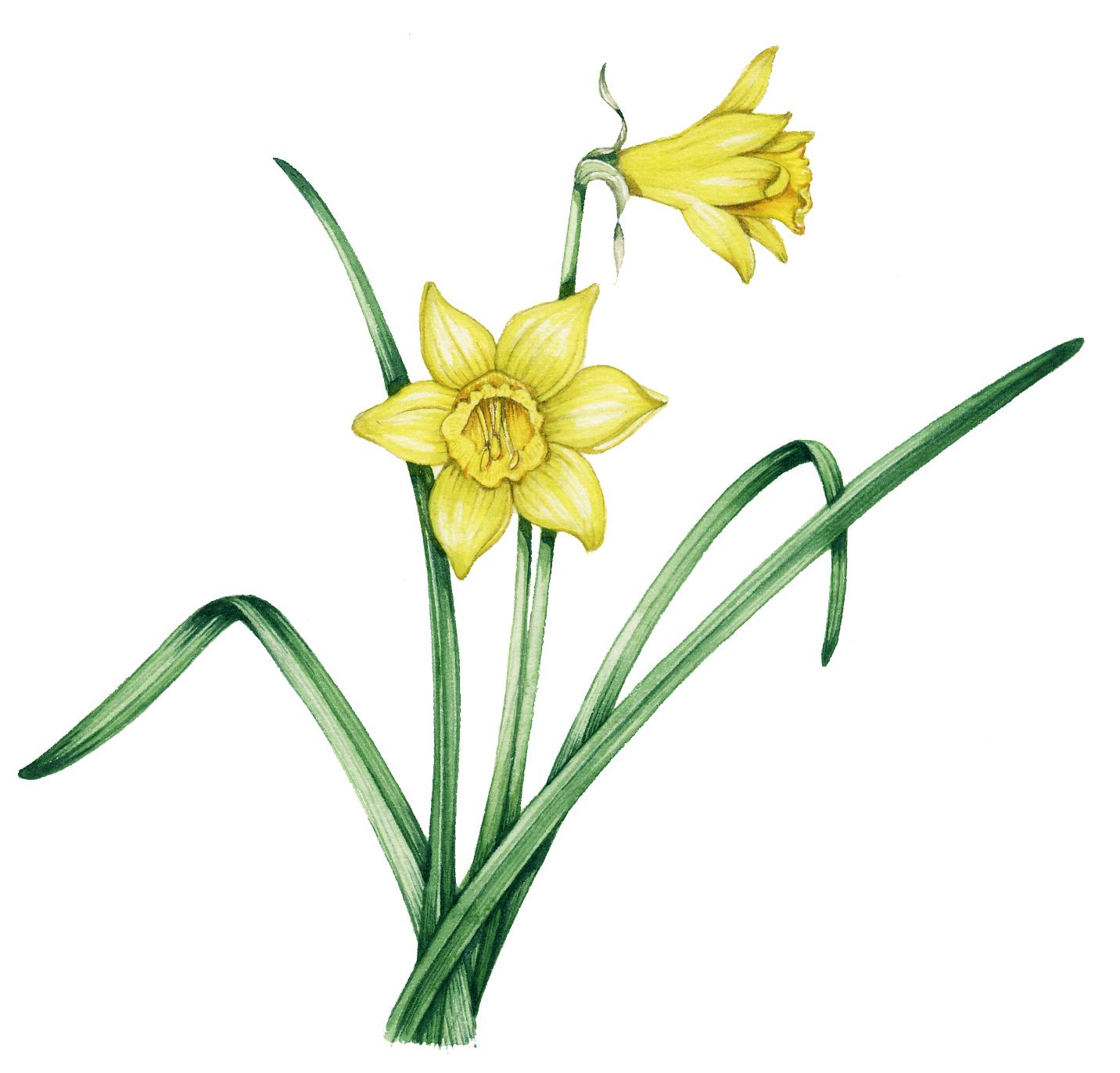 1432x1373 wild daffodil narcissus pseudonarcissus