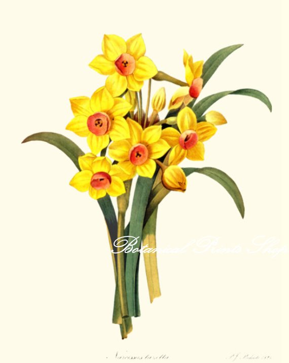 570x717 botanical print daffodils spring flowers narcissus easter