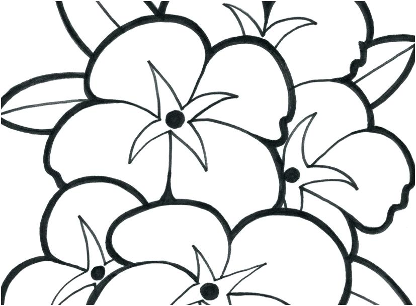 827x609 daffodil flower colouring pages coloring narcissus