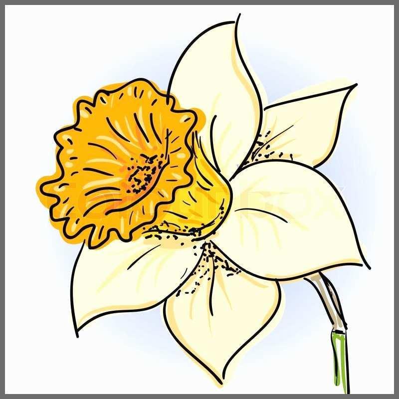 800x800 daffodil sketch pleasant pastel pencil drawing of a daffodil