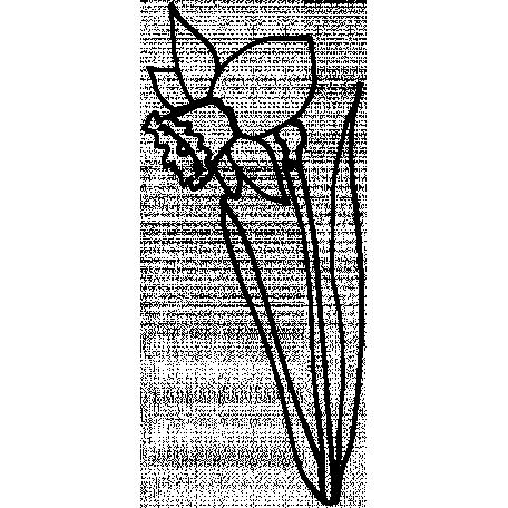 456x456 narcissus