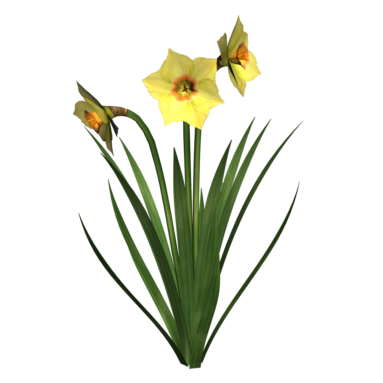 1600x1600 narcissus drawing daffodil bulb transparent png clipart free