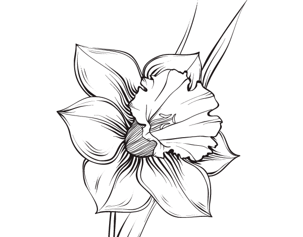 600x470 narcissus drawing form transparent png clipart free download