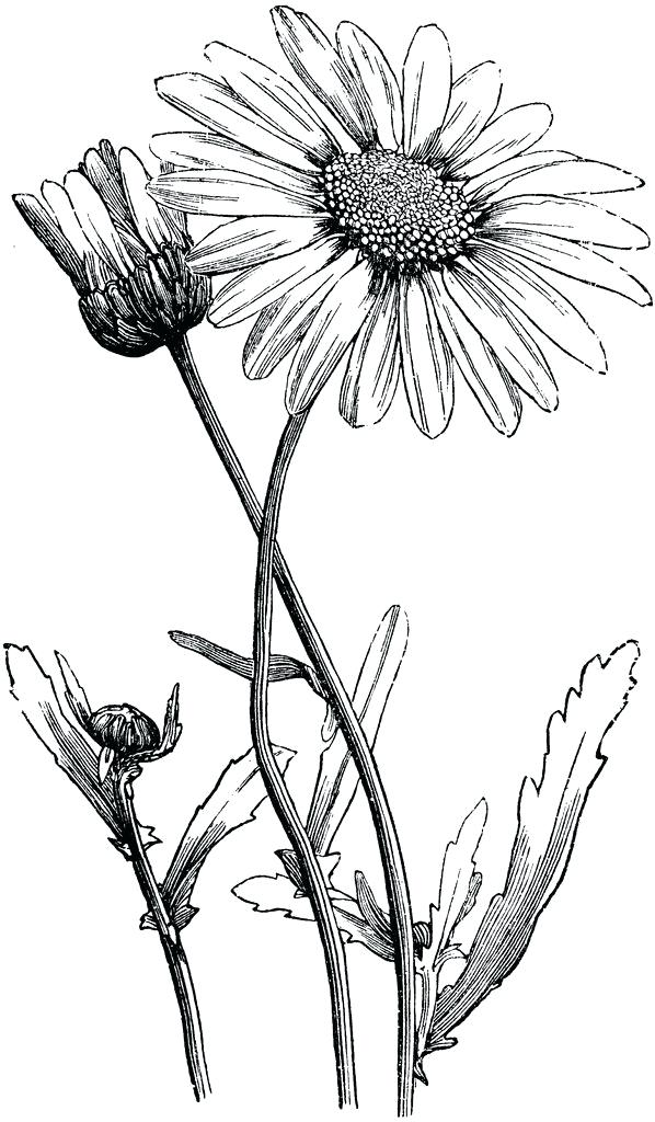 598x1024 How To Sketch A Daisy Lali