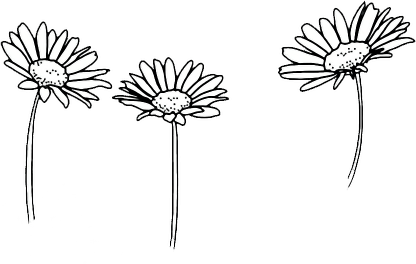 832x528 Drawing Sunflowers Outline Transparent Png Clipart Free Download