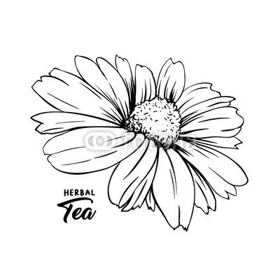 400x400 Chamomile Hand Drawn Vector Illustration Floral Ink Pen Engraved