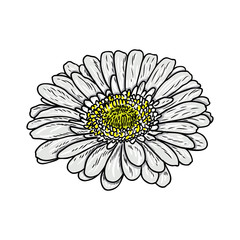 240x240 Daisy Floral Botany Sketch Daisy Flower Drawing Color Line Art