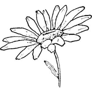300x300 Daisy Line Drawing Drawing The Daisy How To Draw Daisies