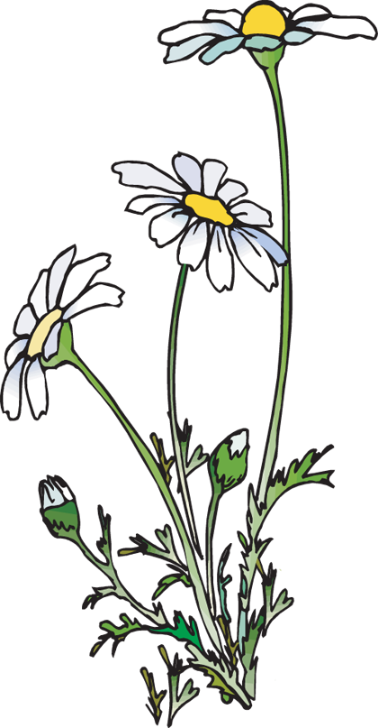 420x807 daisy clipart line drawing flower, daisy line drawing flower
