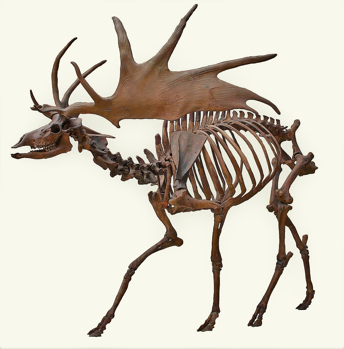 1200x1217 Irish Elk
