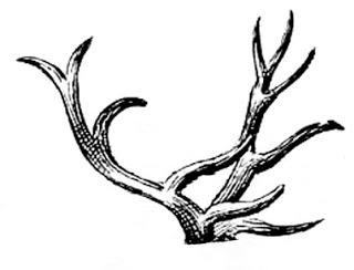 320x244 drawn antler deer antler