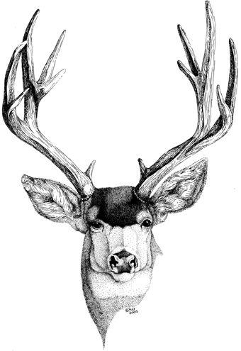 340x495 Mule Deer