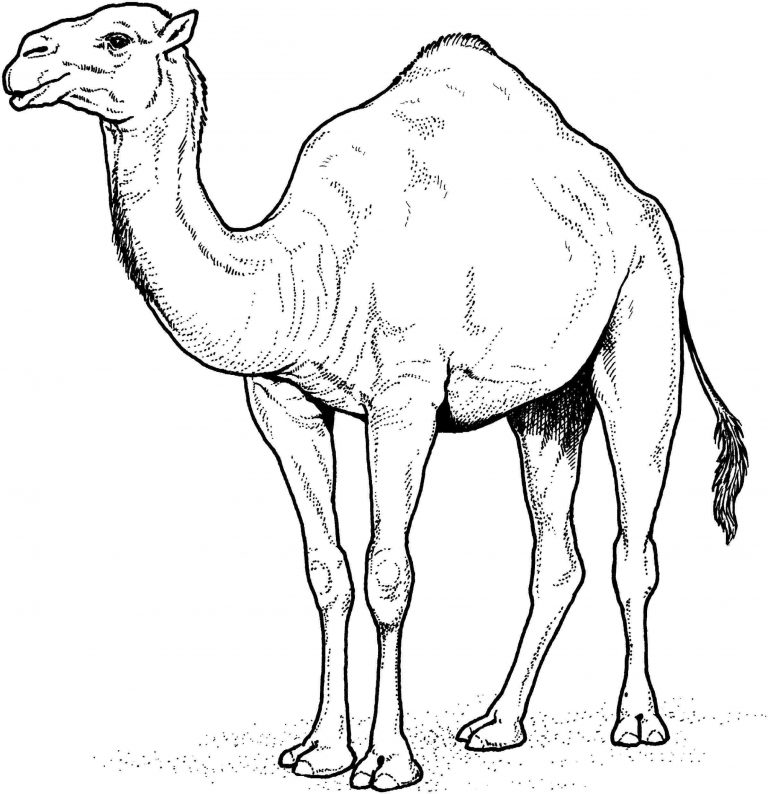 768x794 Rhclipartlibrarycom Free How To Draw Animals In The Desert G