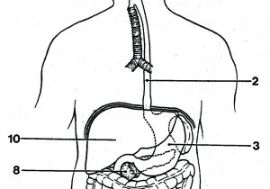 300x210 simple digestive system draw and label a simple digestive system