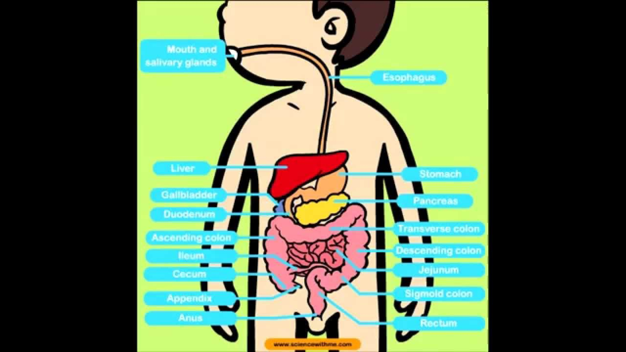 1280x720 human digestive system drawing for kids the digestive system diarrhea