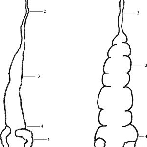 300x300 Schematic Drawings Of The Digestive System