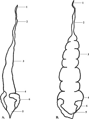 300x399 Schematic Drawings Of The Digestive System