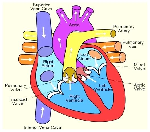 526x462 Diagram Of Digestive System Human Large Heart Label Anatomy