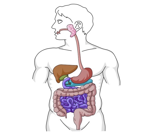 collection of digestive clipart free download best digestive Skin Label Diagram