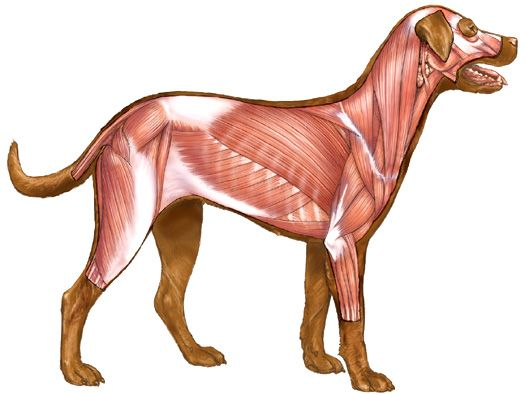 525x395 Animal Anatomy Dog Anatomy, Animal