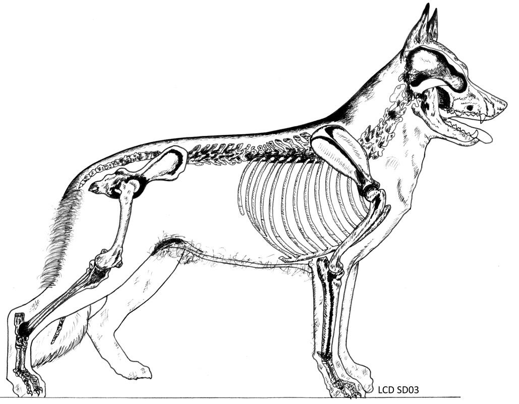 1029x800 The Evolutionary Development Of The German Shepherd Dog Skeleton