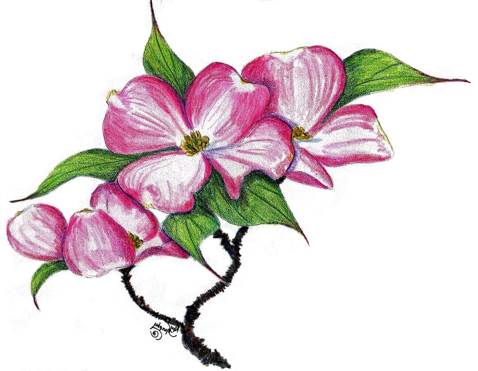 1600x1243 Dogwood Blossom Drawings