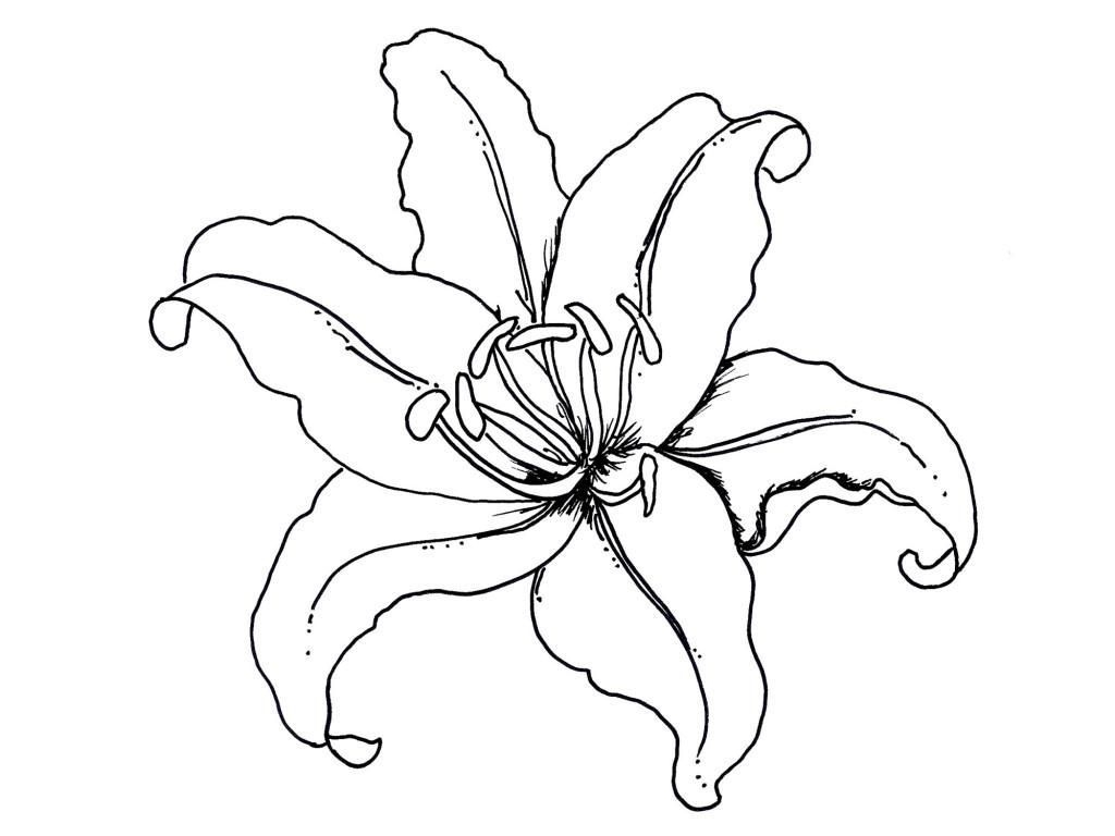 1024x768 Dogwood Drawing Rainforest Flower For Free Download