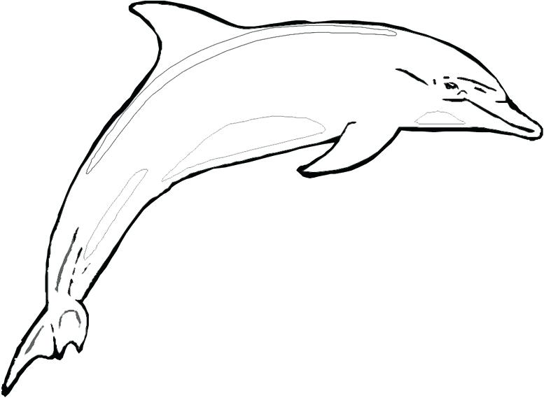 777x569 bottlenose dolphin drawing draw dolphin bottlenose dolphin drawing